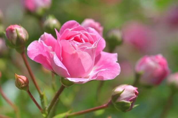 Непрерывное цветение - секреты ухода за розами
