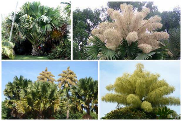 Корифа зонтичная интересное, природа, раз в жизни, факты, фауна, флора, цветы