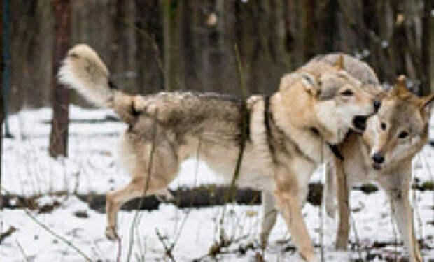 Волчица пришла просить еду и лесник ее пожалел. Через два месяца к деревне пришли три волка и поблаг