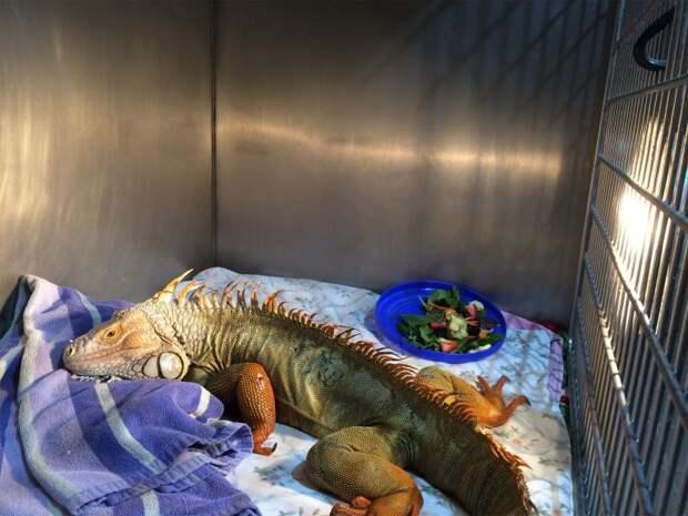 В ней застряло 5 стрел! Почему с ней так поступили и как спасают красавицу игуану – в этой истории!