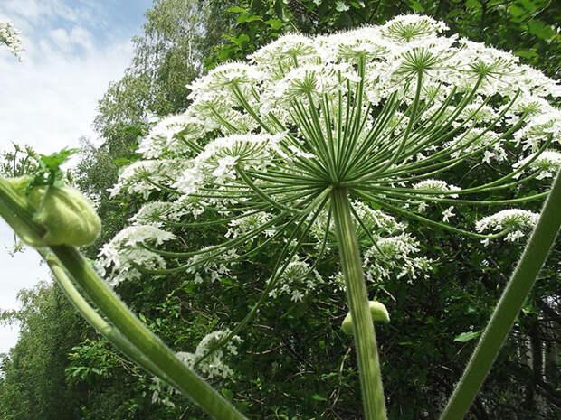 10 самых ядовитых растений к которым лучше не подходить