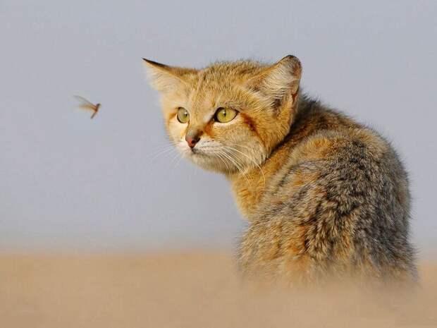 Барханный кот: Самый мелкий вид кошек животные, коты, это интересно