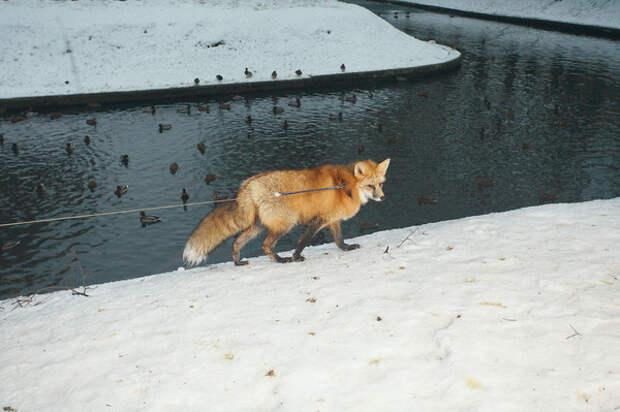 Каково это — жить в одной квартире с лисом животные, зверь, лиса, питомец
