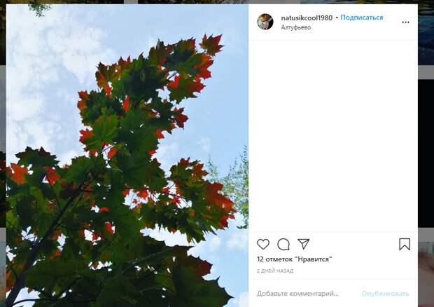 Фото дня: «нерешительный» клён в Алтуфьеве