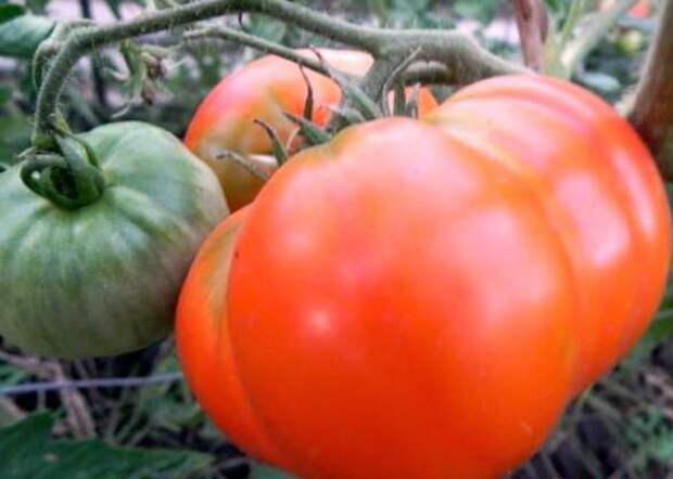 Самые крупные сорта томатов, до 4 кг