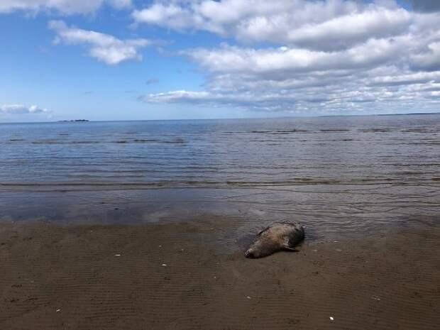 «Жуткая картина»: более 150 редких тюленей нашли мертвыми на побережье Каспийского моря