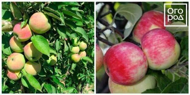 яблоки солнцедар