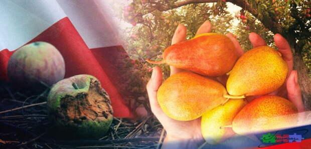 Польша готовит «возвращение» своих яблок в Россию