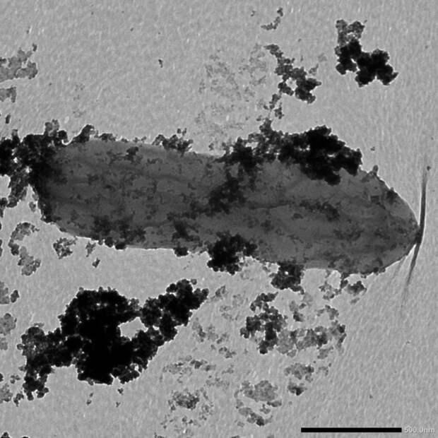 Halanaerobium hydrogeninformans – бактерия, производящая водород