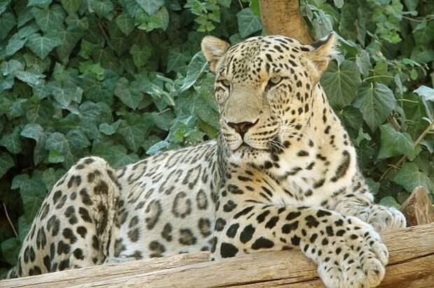 Китайский сафари-парк неделю скрывал побег трех леопардов