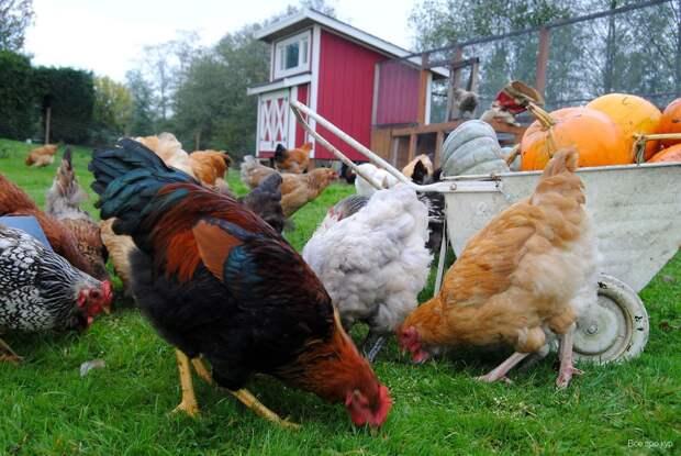 Суд запретил дачникам разводить кур и кроликов без согласия соседей