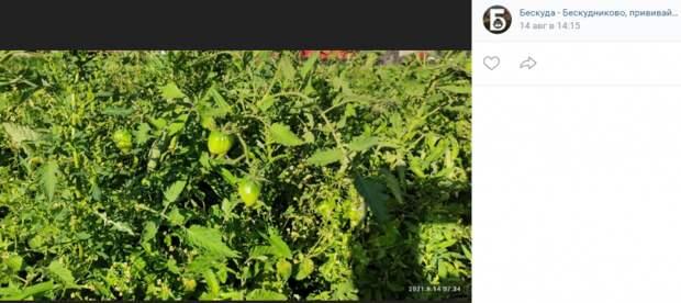 Фото дня: бескудниковские томаты