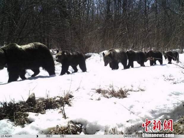 В заповеднике «Земля леопарда» фотоловушка засняла медведицу с пятью медвежатами
