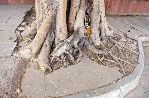Крупные деревья способны своими корнями разрушить бетонное или асфальтовое покрытие