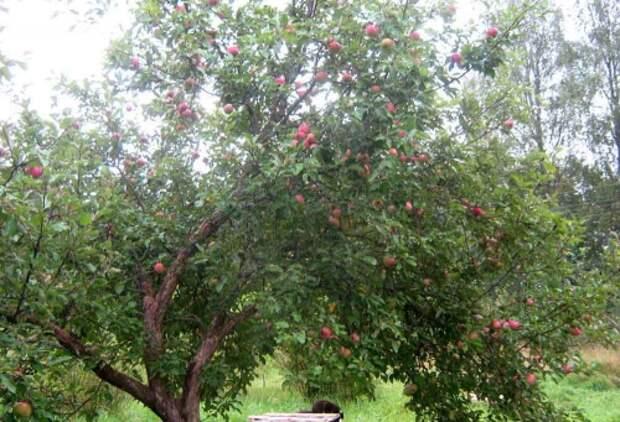 Как восстановить старую яблоню