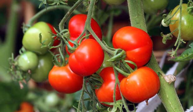 Чем удобрять помидоры: самые эффективные способы
