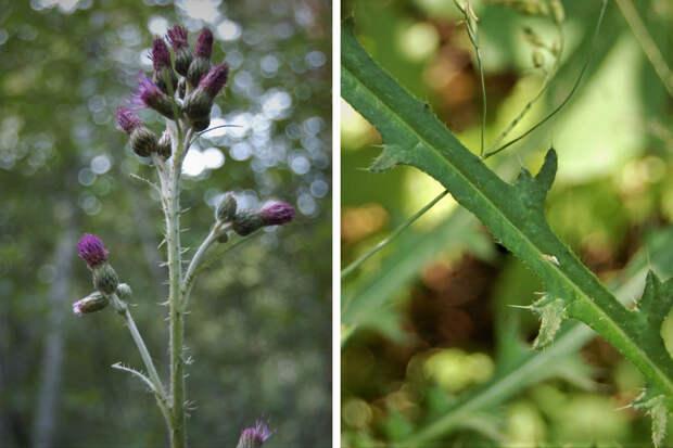 В Новосибирске впервые нашли растение, которое сто лет назад вывезли из Сибири в Америку