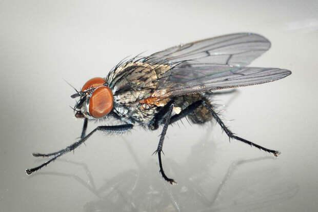 Ученые рассказали, почему так сложно убить комнатную муху