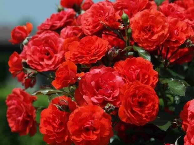 Когда и как правильно привить розу
