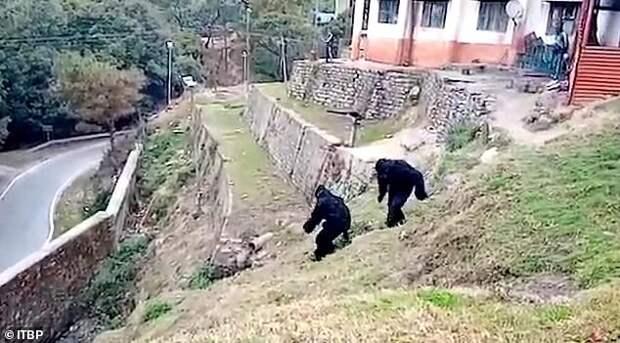 Пограничники нарядились обезьянами и пугали обезьян