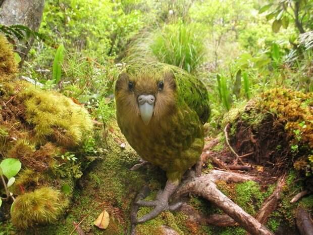 Попугай Какапо птицы, уникальная живность, факты, фауна