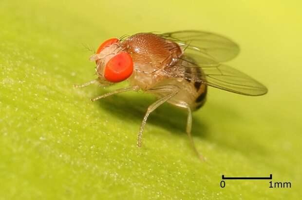 """Личинки дрозофил (плодовых мушек) способны в вакууме """"отращивать """"  нанокостюм -  толщиной около 50-100 нанометров, который был непроницаем для жизненно важных веществ"""