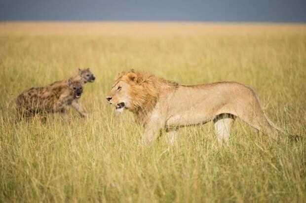 Стая гиен пыталась отнять добычу у двух львов гиена, животные, лев