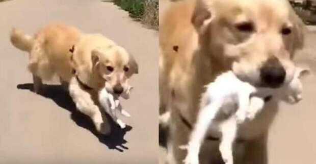 Золотистый ретривер спас маленького котенка и начал о нем заботиться