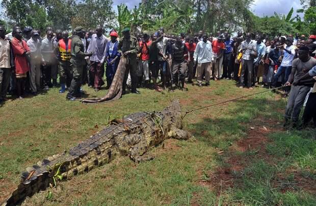 75-летний крокодил «Усама», который съел 80 человек