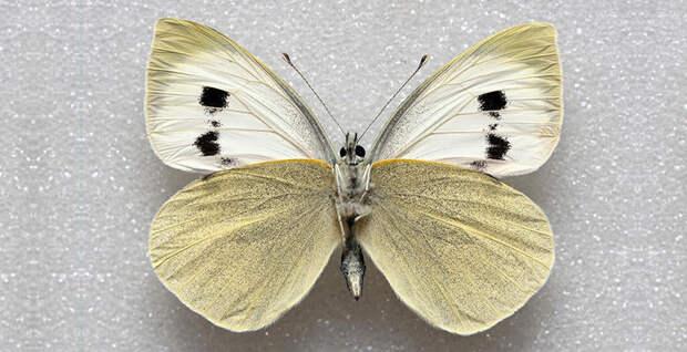 Большая белая бабочка Мадейры в мире, животные