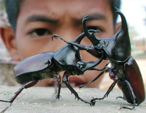 Жук-носорог: Весит 100 граммов, а поднимает 8 килограмм. Бронированный биотитан мира насекомых (8 фото + 2 гиф)