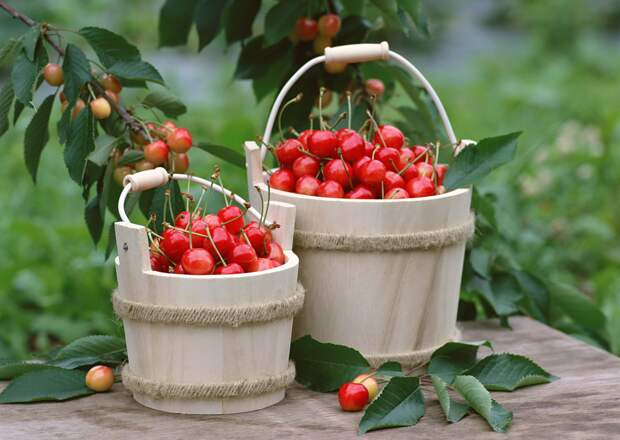 Не прозевайте урожай черешни!