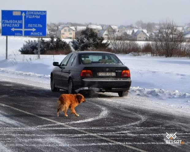 Парафьяновский Хатико. Собака около Докшиц уже девятый год ждет своего хозяина
