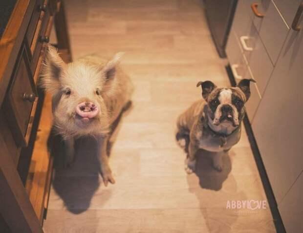 """Эта хрюшка думает, что она собака, а потому все делает вместе со своей """"семьей"""" животные, милота, свинья"""