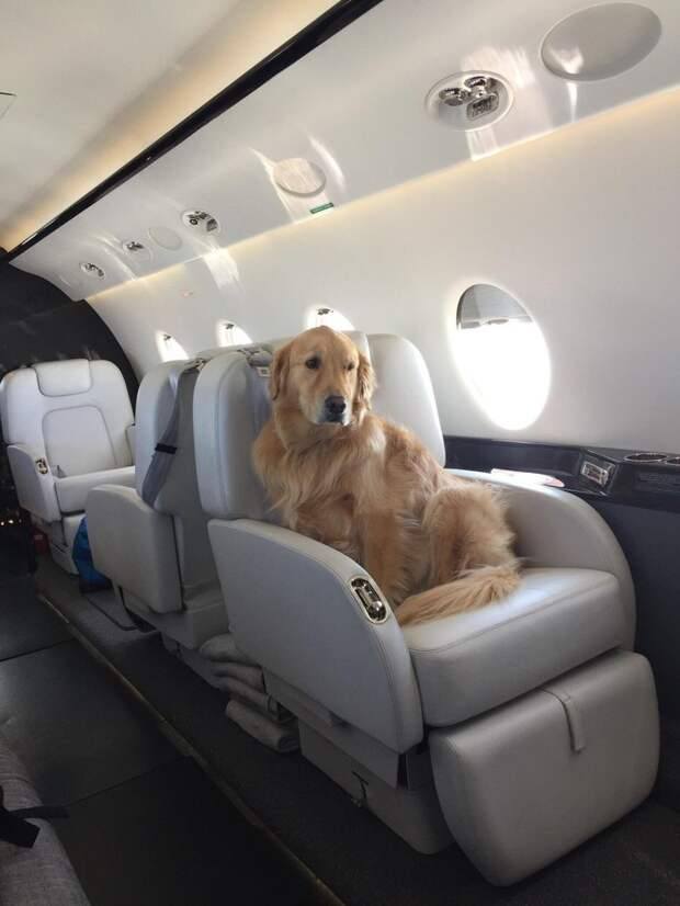 В частном самолете животные, жизнь, мир, роскошь, собака, удобство, фото