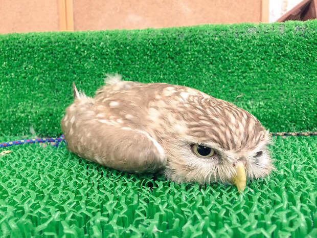 Релаксирующая сова животные, расслабленность, смешно, фото