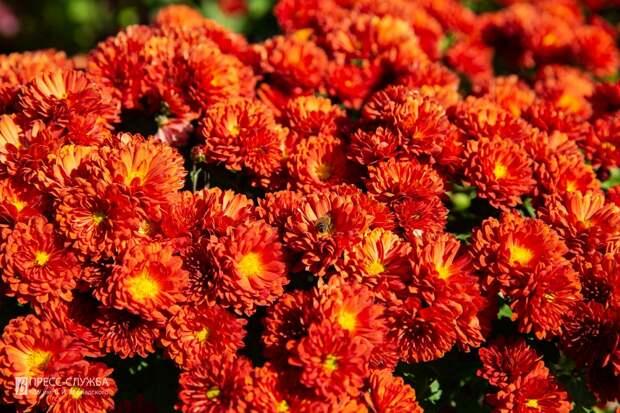 В Ботаническом саду Крымского федерального университета зацвели хризантемы