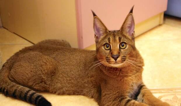 Каракет - помесь каракала и абиссинской кошки.