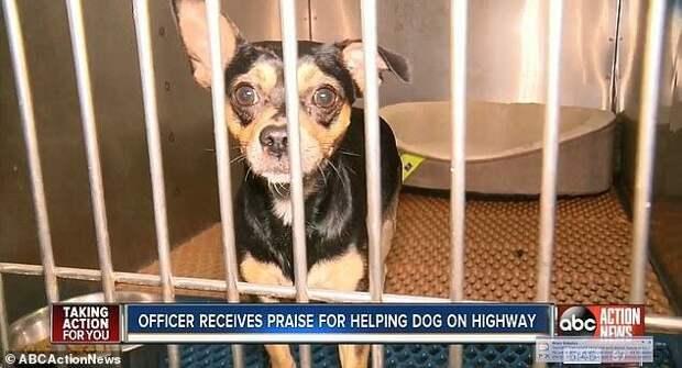 Американский полицейский бросился на помощь собаке на скоростной автомагистрали