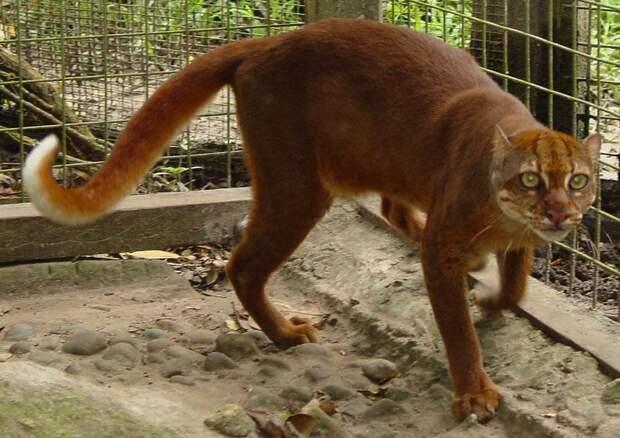 12 диких кошек, о которых знают не все. Краткий обзор