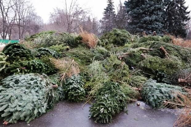 В парк «Кузьминки-Люблино» принесли более восьмисот увядших елок