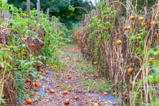 томаты осенью