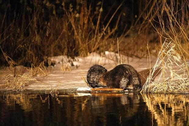 Зимой во время оттепелей бобры выбираются на поверхность, чтобы подкормиться. Фото: Павел Греков