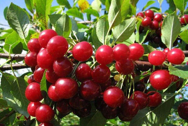 плоды сорта Любская