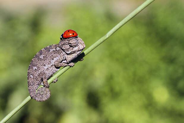 cute-baby-chameleons-58302806509ed__700