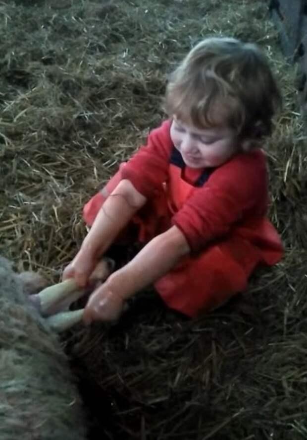 3-летняя малышка приняла роды у овцы