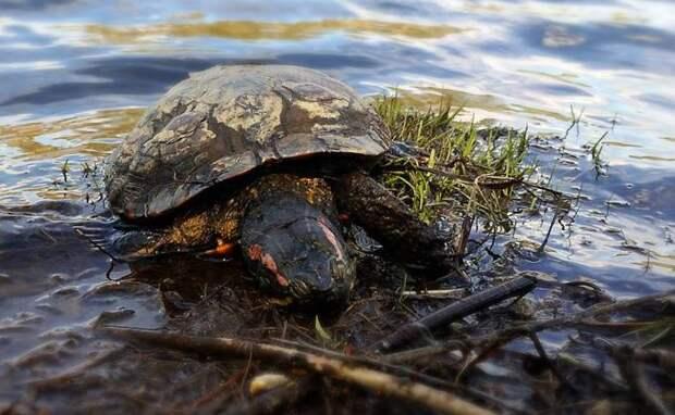 Огромную мертвую черепаху поймал житель Новосибирска