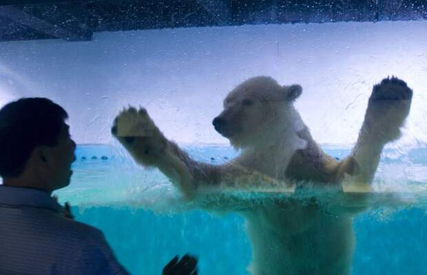 """Mandatory Credit: Photo by Imaginechina/REX/Shutterstock (5808278g)nPizza the polar bearn'World's saddest polar bear' at a mall in Guangzhou, Guangdong province, China - 27 Jul 2016nThe Grandview Aquarium, located inside a sprawling shopping mall in Guangzhou, has become notorious for its questionable treatment of its animals, in particular one very sad-looking polar bear named Pizza. Back in March, the animal welfare group Animals Asia posted a video featuring Pizza -- """"the world's saddest polar bear."""" They followed that up by releasing a petition calling for the aquarium to be closed and Pizza freed.n"""