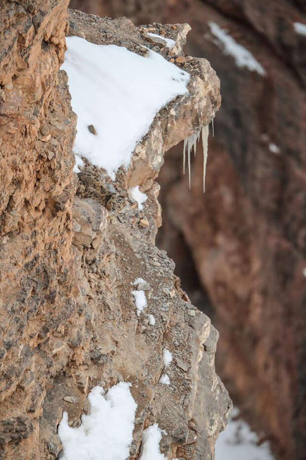 Редкий кадр: снежный барс стал «невидимкой», прячась в горах
