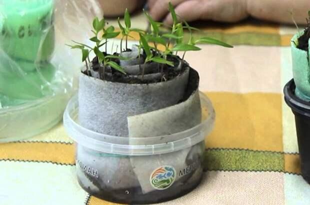 Вредные советы. Стоит ли выращивать рассаду в «улитках»